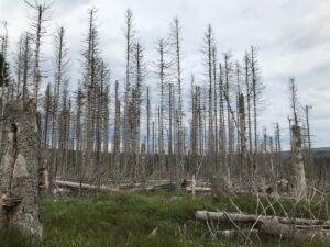 Reiseblog - Harz - tote Bäume