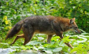 Canis_aureus_Kaeng_Krachan_national_park