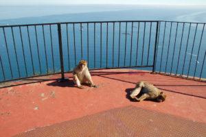 Ein Affe sitzt an einem Geländer, ein Anderer liegt daneben auf seiner Brust und hat dabei die Beine gespreizt.