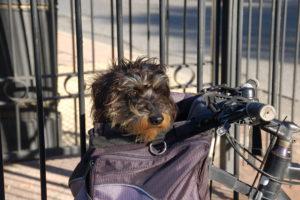Der Dackel Lotte sitzt im Fahrradkorb und beobachtet die Umgebung