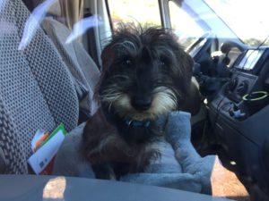 Lotte sitzt im Körbchen auf dem Beifahrersitz und schaut durch die geschlossene Scheibe in die Kamera.