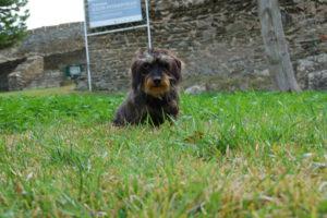 Dackel Lotte sitzt im Gras im Burghof.