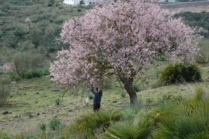 Otto pflückt vom blühenden Mandelbaum die Mandeln vom Vorjahr.