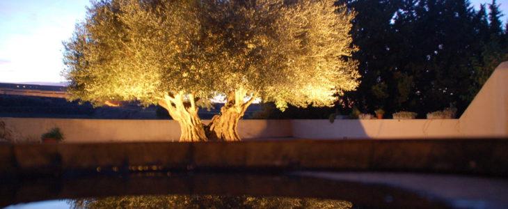 Das bild zeigt einen in der Dämmerung beleuchteten 1000 Jahre alten Olivenbaum.
